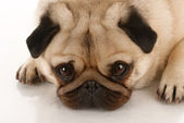 Pug looking up at viewer on white background — Stock Photo