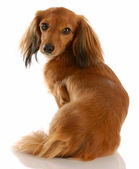 Long haired dachshund with back to viewer looking at camera — Stock Photo