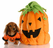 Long haired dachshund dressed up with halloween pumpkin — Stock Photo