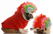 English bulldog and pug dressed up as clowns — Fotografia Stock