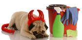Pug dressed as devil laying beside cleaning supplies — Stock Photo