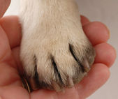 Persons hand holding dog paw — Stock Photo