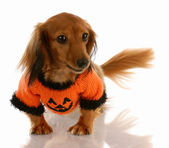 Miniature long haired dachshund dressed up for halloween — Stock Photo