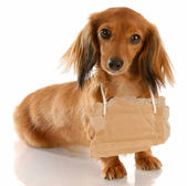 Long haired miniature dachshund wearing cardboard — Stock Photo