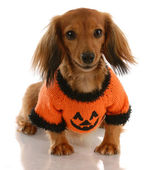 Long haired miniature dachshund wearing festive pumpkin sweater — Stock Photo