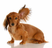Long haired miniature dachshund — Stock Photo