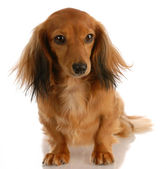 Long haired miniature dachshund female sitting — Stock Photo