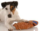 Jack russel terrier laying beside baseball glove — Stock Photo