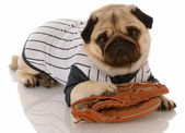 Pug dog dressed up in baseball uniform with ball glove — Stock Photo