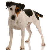 Smooth coat tri-colored jack russel terrier standing — Stock Photo