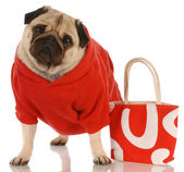 Pug wearing red sweater standing beside fashionable red purse — Stock Photo