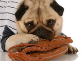 Pug dog wearing baseball jersey with ball glove — Stock Photo