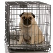 Stock Photo: Pug sitting in wire dog crate looking out viewer