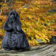 Black american cocker spaniel portrait in autumn setting - Stock Photo