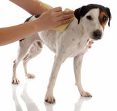 Jack russel terrier being brushed — Stock Photo