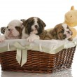 Four week old english bulldog puppies in a wicker basket with stuffed toys — Stock Photo
