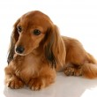 Long haired miniature dachshund laying down — Stock Photo #24221541