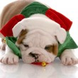 Seven week old english bulldog puppy wearing christmas scarf — Stock Photo
