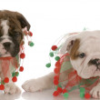 Two english bulldog puppies wearing cute christmas scarves — Stock Photo #24227737