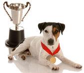 杰克罗素梗戴金牌和奖杯坐 — 图库照片