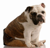 English bulldog wearing hot pants because she is in season or heat — Stock Photo
