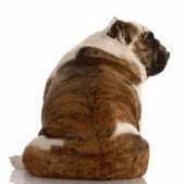 English bulldog sitting facing away from viewer — Zdjęcie stockowe