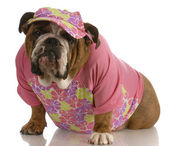 English bulldog wearing female pink clothing and matching hat — Stok fotoğraf