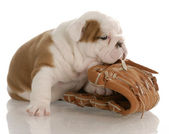 English bulldog puppy chewing on baseball glove — Stock Photo