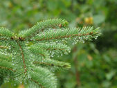 Pine needle dripping with rain with shallow depth of field — Stock Photo
