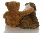 English bulldog puppy sitting beside bear — Stock Photo