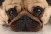 Close up of pug dog looking at viewer — Stock Photo