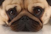 Close up of pug dog looking at viewer — Stock Photo