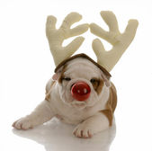 English bulldog with red nose dressed as rudolph — Stock Photo