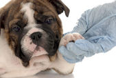 Seven week old english bulldog puppy going for vet check-up — Stock Photo