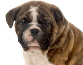 Seven week old red brindle and white english bulldog puppy — Stock Photo