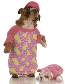 English bulldog mother and daughter wearing matching outfits — Stock Photo
