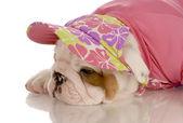 Sju veckor gammal engelska bulldog valp klädd i rosa hatt och tröja — Stockfoto