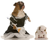 English bulldog wearing maid dress standing up sweeping floor — Stock Photo