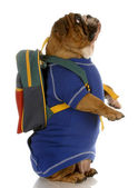 English bulldog wearing blue sweater with backpack — Stock Photo