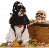 American cocker spaniel dressed up like a pirate — Foto de Stock