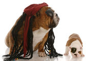 English bulldog adult and puppy dressed up as pirates — Stock Photo