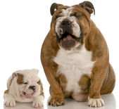 Two english bulldogs with mouth open making silly expressions — Stock Photo