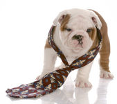 Seven week old male english bulldog wearing mans tie — Stock Photo