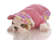 Seven week old english bulldog puppy wearing matching shirt and hat — ストック写真