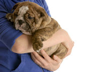 Person holding on to english bulldog puppy — Stock Photo