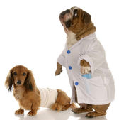 English bulldog doctor or vet with wounded dachshund — Stock Photo