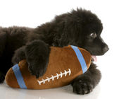Twelve week old newfoundland puppy with stuffed football — Stock Photo