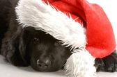 Newfoundland puppy wearing santa hat — Stock Photo