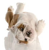 Nine week old english bulldog puppy rolling on his back — Stock Photo
