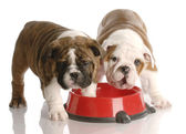 Two nine week old english bulldogs puppies and a red dog food dish — Stock Photo
